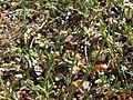 Slender combseed, Pectocarya penicillata (16793297556).jpg