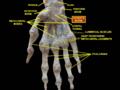 Slide1dsds - Hamate bone.png