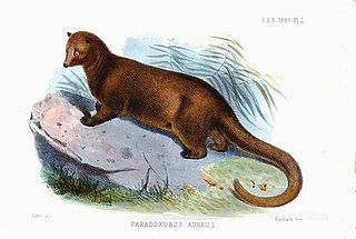 <i>Paradoxurus aureus</i> species of mammal