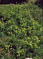Smyrnium perfoliatum rotundifolium 1.jpg