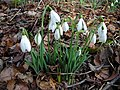 Snowdrops in Leaf Litter, Calderglen Country Park - geograph.org.uk - 342418.jpg