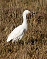 Snowy Egret in the marshes of Richardson Bay.jpg