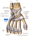 Sobo 1909 204 - Hamulus of hamate bone.png