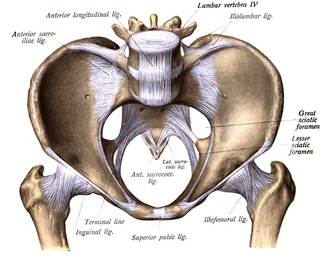 Lesser sciatic foramen - Image of the pelvis showing the lesser sciatic foramen.