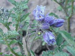 Solanum chacoense0