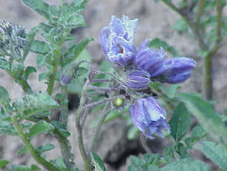 Solanum chacoense - Image: Solanum chacoense 0