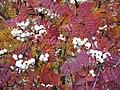 Sorbus fruticosa.jpg