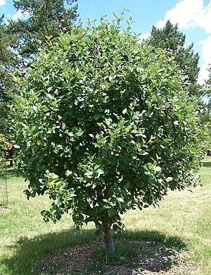 Sorbus latifolia - Image: Sorbus latifolia Morton 261 93 5