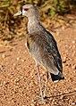 Southern Lapwing (Vanellus chilensis) (30651564423).jpg