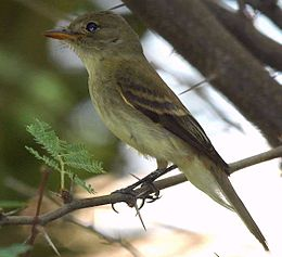 Southwestern Willow Flycatcher.jpg