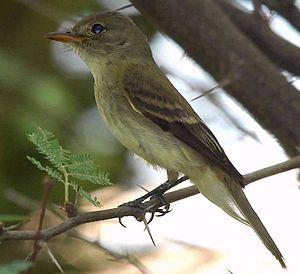 Willow flycatcher - Image: Southwestern Willow Flycatcher