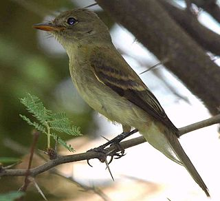 Willow flycatcher species of bird