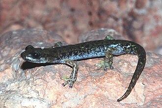 Speleomantes - Supramonte cave salamander, Speleomantes supramontis
