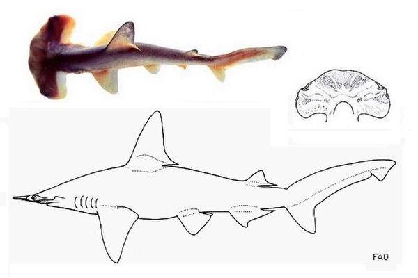 Kleinaugen-Hammerhai - Wikiwand