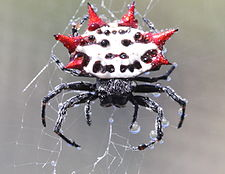 Spiny backed orbweaver spider.jpg