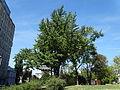 Spomenik prirode Ginko na Vračaru 15.JPG