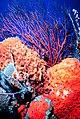 Sponge, coral, and searod FKNMS.jpg