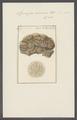 Spongia sinuosa - - Print - Iconographia Zoologica - Special Collections University of Amsterdam - UBAINV0274 112 02 0022.tif
