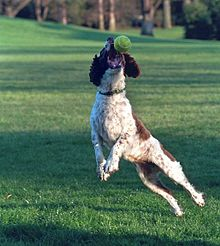 An English Springer Spaniel catching a tennis ball