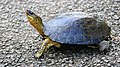Spotted-legged Turtle (Rhinoclemmys punctularia) crossing the road ... (38588764064).jpg