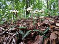 Spotted Wintergreen - Flickr - treegrow (1).jpg