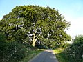 Spreading Tree marks the Junction of the lane to Astwith and Branch Lane - geograph.org.uk - 521613.jpg