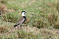 Spur-winged lapwing - Queen Elizabeth National Park, Uganda (2).jpg