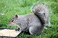 Squirrel - April 2009 (3431899110).jpg