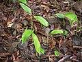Stachyphrynium spicatum (Roxb.) K.Schum. (7433645852).jpg