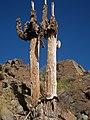 Standing dead saguaros.jpg