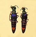 Staphylinidae - Actinus imperialis.JPG