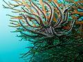 Starfish on coral 2 (5623373287).jpg