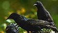 Starlings (9223849588).jpg