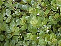 Starr-010520-0066-Boerhavia repens-habit-Inland-Kure Atoll (24532751635).jpg