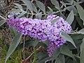 Starr-010717-0043-Buddleja davidii-flowers-Kula-Maui (23906228403).jpg