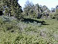 Starr-020226-0029-Buddleja davidii-habit-Kokee-Kauai (24546900835).jpg