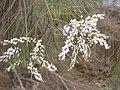 Starr-030923-0214-Tamarix aphylla-flowers-LZ1-Kahoolawe (24272505039).jpg