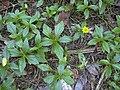 Starr-031108-0090-Sphagneticola trilobata-habit-South Lido Beach-Florida (24556648312).jpg