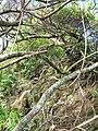 Starr-050405-5911-Schinus terebinthifolius-habit-Keopuka-Maui (24375412399).jpg
