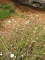 Starr-050816-3605-Erigeron karvinskianus-flowers-Waiale Gulch-Maui (24775596436).jpg