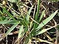Starr-061017-1255-Stenotaphrum secundatum-habit-Hookipa-Maui (24572441450).jpg