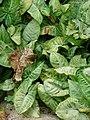 Starr-080607-7148-Syngonium podophyllum-habit-Midway House Sand Island-Midway Atoll (24287463984).jpg