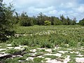 Starr-080608-7687-Terminalia catappa-habit-West Beach Sand Island-Midway Atoll (24549272779).jpg