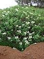 Starr-081230-0651-Montanoa hibiscifolia-flowering habit-Upper Kaulana-Kahoolawe (24631752670).jpg