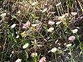 Starr-090513-7550-Erigeron karvinskianus-flowers-Polipoli-Maui (24861395761).jpg