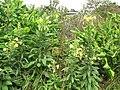 Starr-090629-1987-Oenothera biennis-flowering habit-Crater Rd Kula-Maui (24672236750).jpg