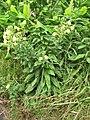 Starr-090629-1992-Oenothera biennis-flowering habit-Crater Rd Kula-Maui (24967746765).jpg