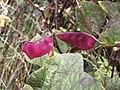 Starr-090803-3631-Lablab purpureus-purple seedpods-Wailuku-Maui (24675549130).jpg