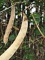 Starr-090806-3835-Clitoria ternatea-seedpods-Wailuku-Maui (24878063321).jpg