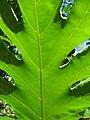 Starr-091104-0780-Artocarpus altilis-leaf veins-Kahanu Gardens NTBG Kaeleku Hana-Maui (24619958939).jpg